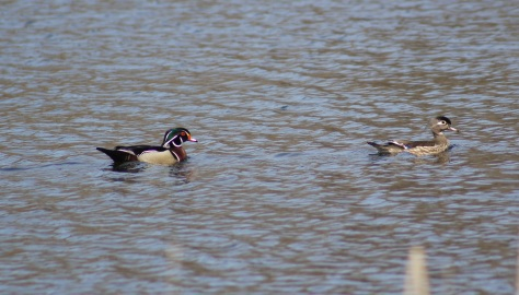 Wood Ducks