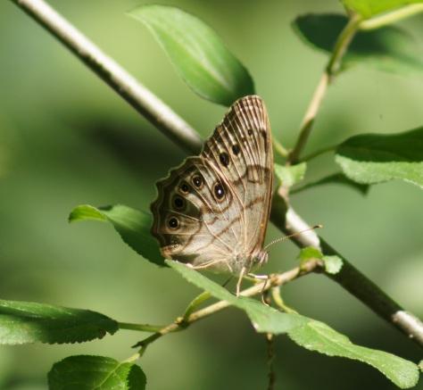 Pearly eye Butterfly