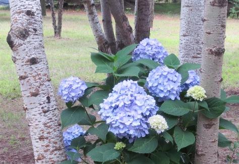 Birch and Hydrangea
